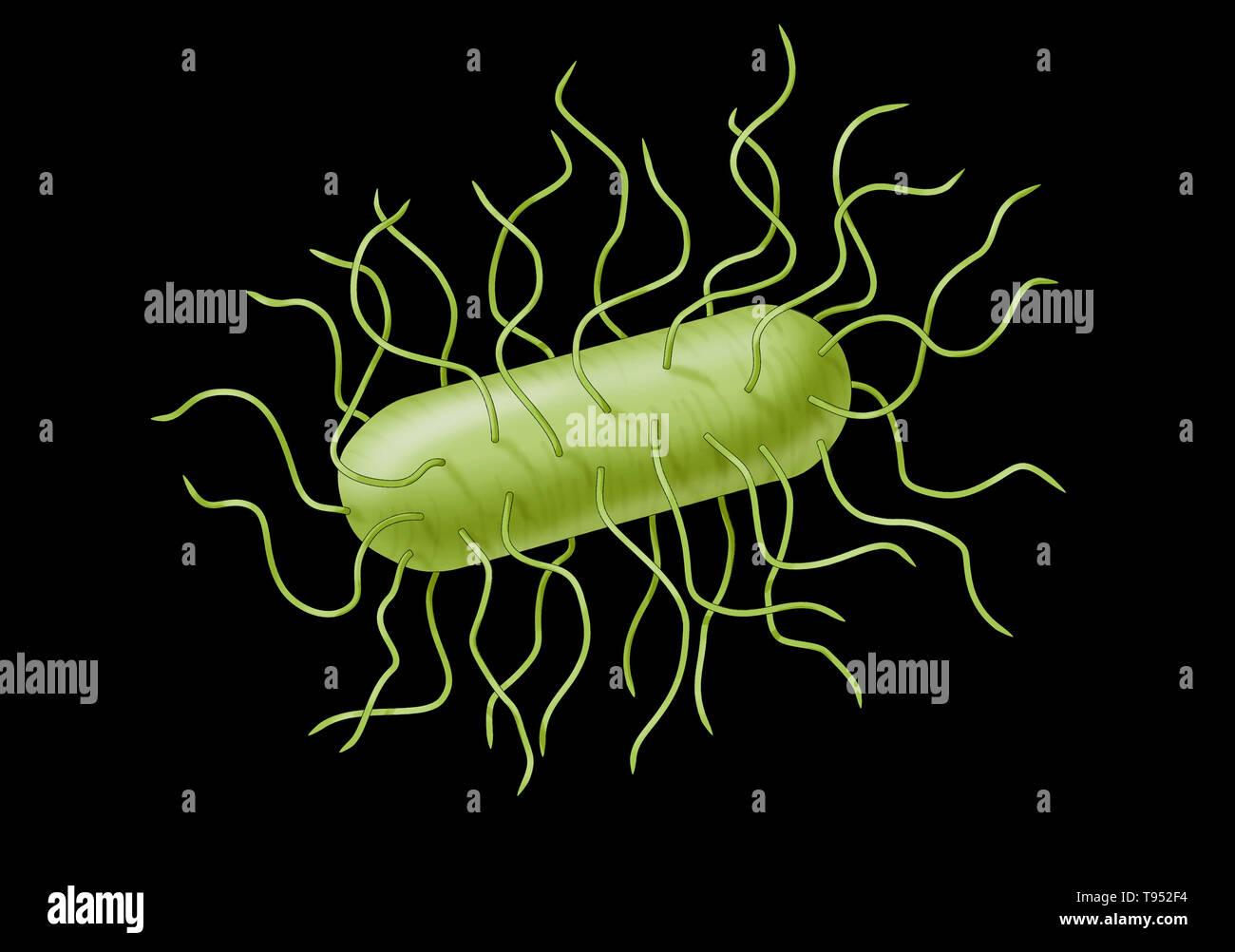La bactérie E. coli. Escherichia coli est une bactérie gram-négatif, anaérobies facultatifs, forme de tige, les coliformes Bactéries du genre Escherichia qui est généralement trouvé dans le côlon des organismes à sang chaud (endothermes). La plupart des souches de E. coli sont inoffensives, mais certains sérotypes peuvent causer de graves intoxications alimentaires chez leurs hôtes, et sont parfois responsables de rappels de produits en raison de la contamination des aliments. Banque D'Images