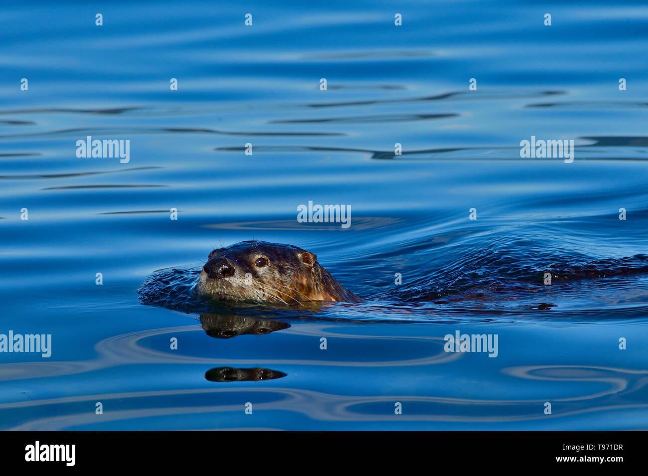 Une loutre de rivière 'Lutra canadensis', la natation dans les eaux bleues de la Stewart Channel au large de la côte de l'île de Vancouver, British Columbia Canada Banque D'Images