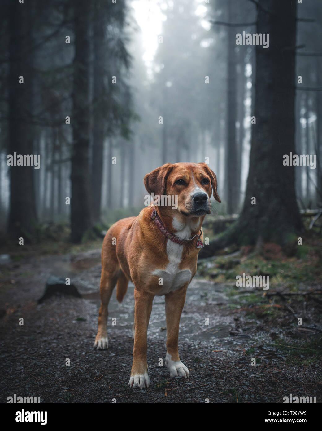 Labrador chien chien de Montagne Suisse bâtard dans la Red Moor, Rhön, Allemagne Banque D'Images