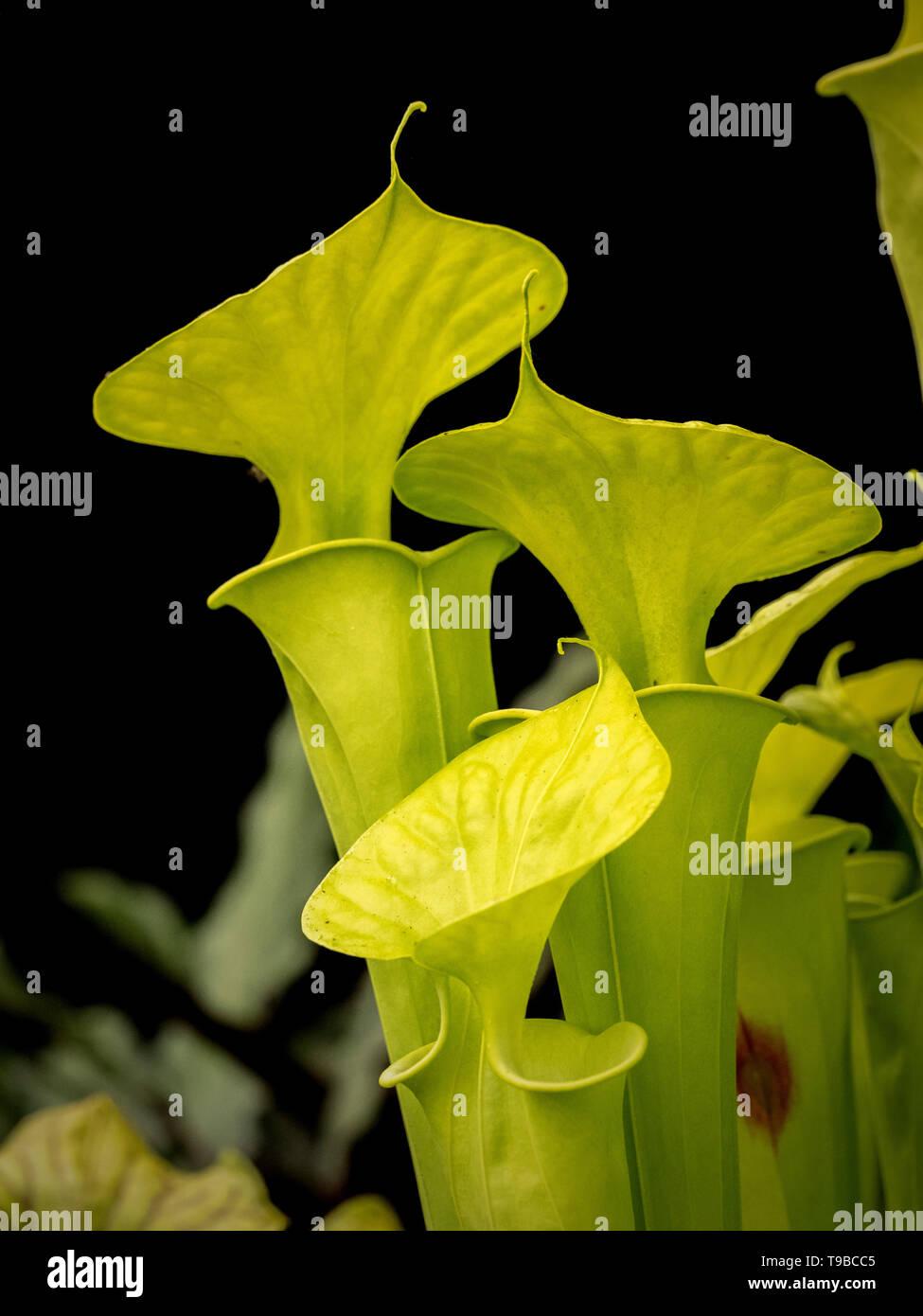 Sarracenia flava cv. 'Maxima' Sarracénie Photo Stock