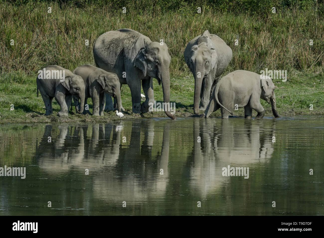 Une soif de la famille éléphant d'Asie (Elephas maximus). Banque D'Images
