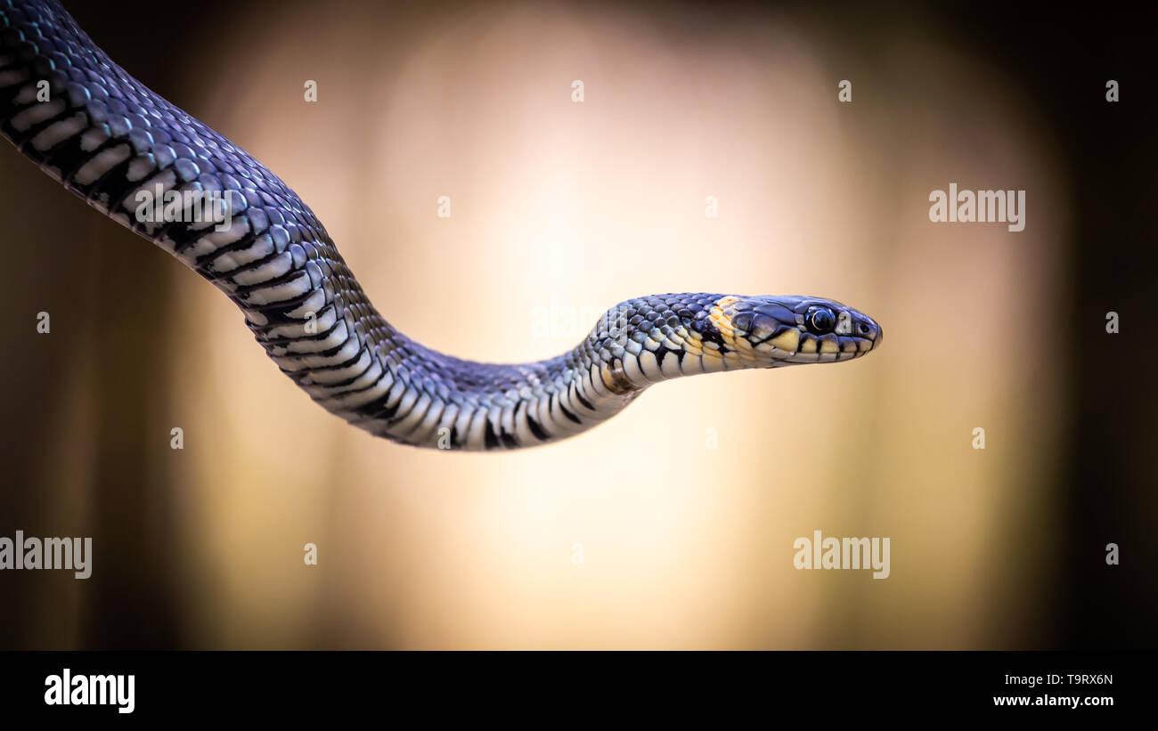 Couleuvre à collier (Natrix natrix) close-up avec un fond clair Banque D'Images