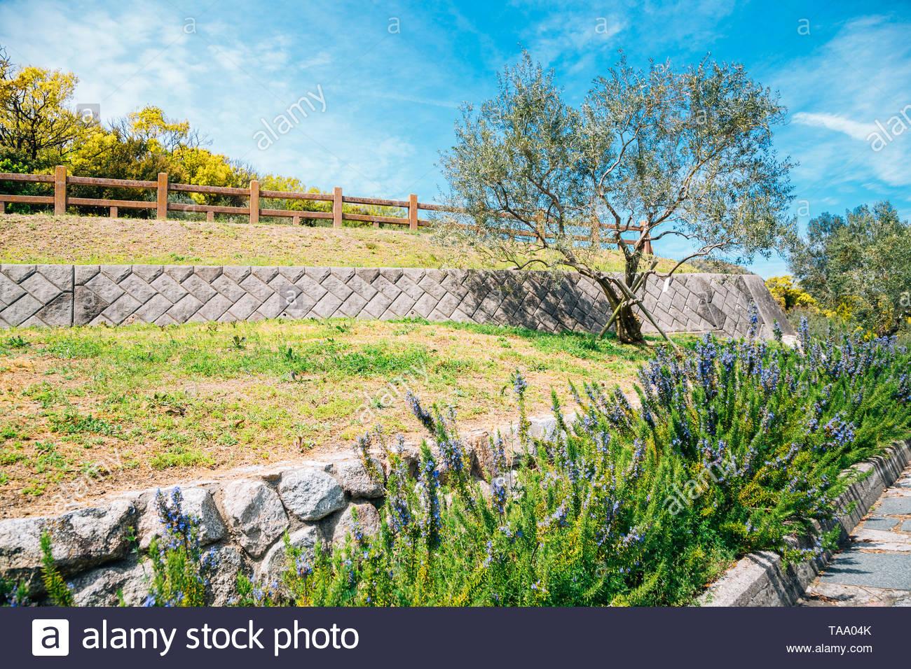 Shodoshima parc d'olive au printemps à Shikoku, Japon Photo Stock