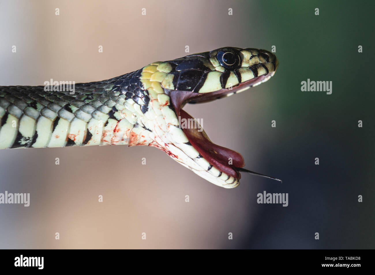 Bloody Grass Snake (Natrix natrix) avec la bouche ouverte et la langue dehors Banque D'Images