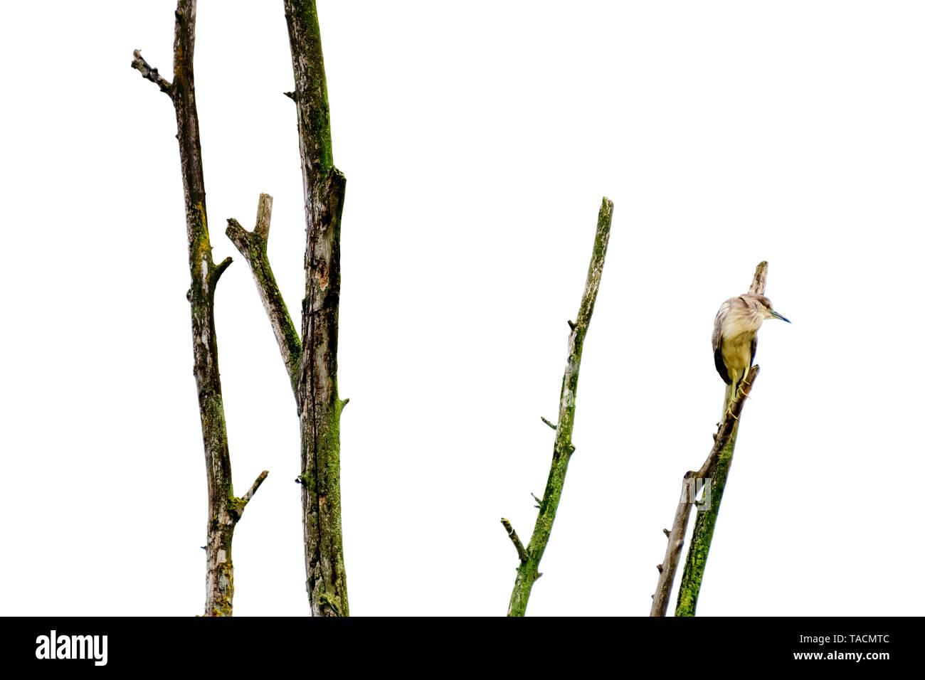 Ardeidae oiseau au-dessus de la branche d'un arbre visant sa proie Photo Stock