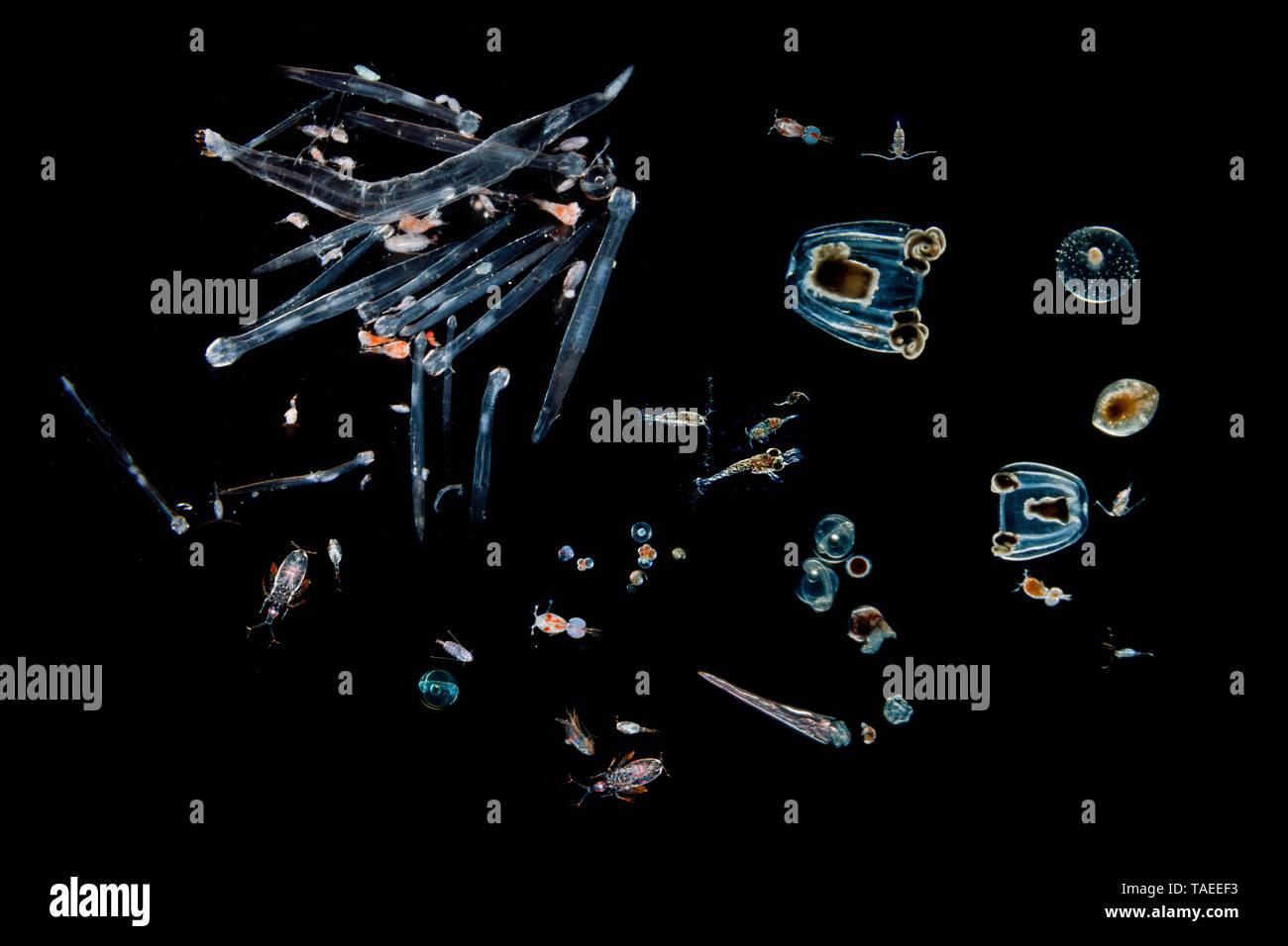 Tara Oceans Expeditions - mai 2011. Les chétognathes et les copépodes. La vie de plancton, photographié à bord de Tara; Photo (M): Christoph Gerigk/CNRS/Taraexpeditions Banque D'Images