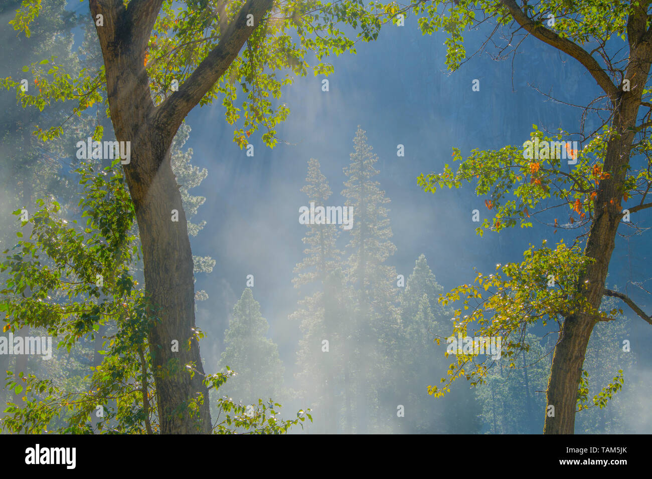 Les conifères et le brouillard du matin, Yosemite NP, California, USA, par Bill Lea/Dembinsky Assoc Photo Banque D'Images