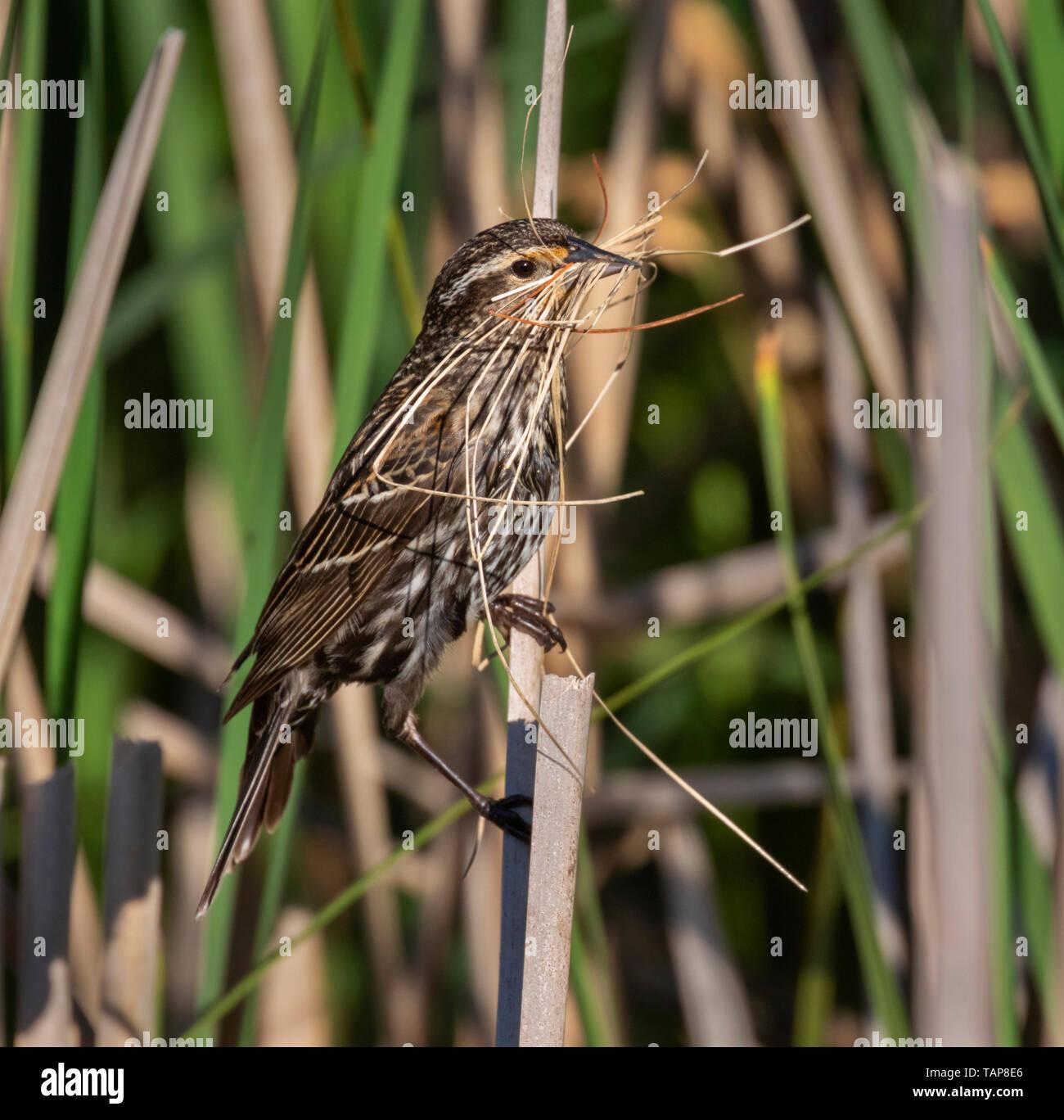 Carouge à épaulettes (Agelaius phoeniceus) femelle avec des matériaux de construction pour un nid dans les roseaux, Iowa, États-Unis. Photo Stock