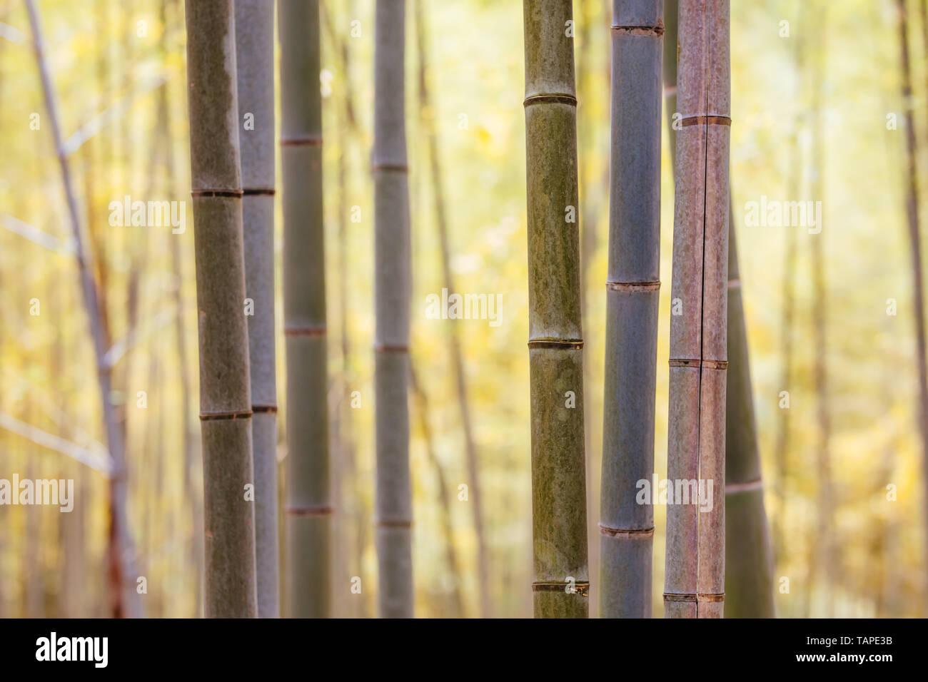 Forêt de bambou Secret Sanctuaire Fushimi Inari Banque D'Images