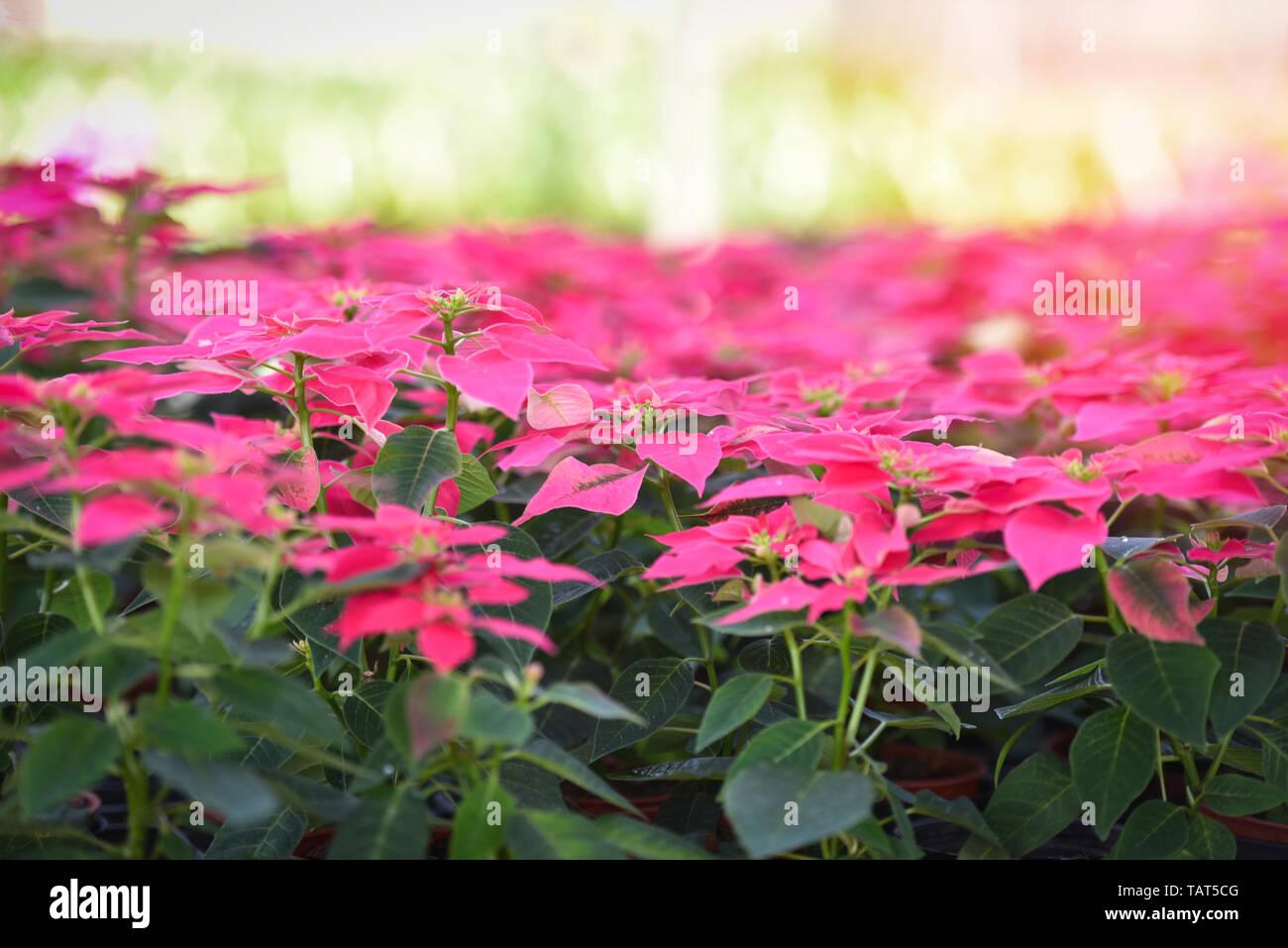 Etoile De Noel Plante Exterieur poinsettia fleurs rose qui fleurit dans le jardin - les