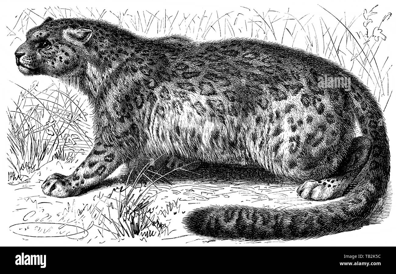 Historische, zeichnerische Pantherkatze Großkatze Darstellung,,, Schneeleopard oder Irbis (Panthera uncia), 19. Jahrhundert, aus Meyers Konversations-Lexikon, 1889 Banque D'Images