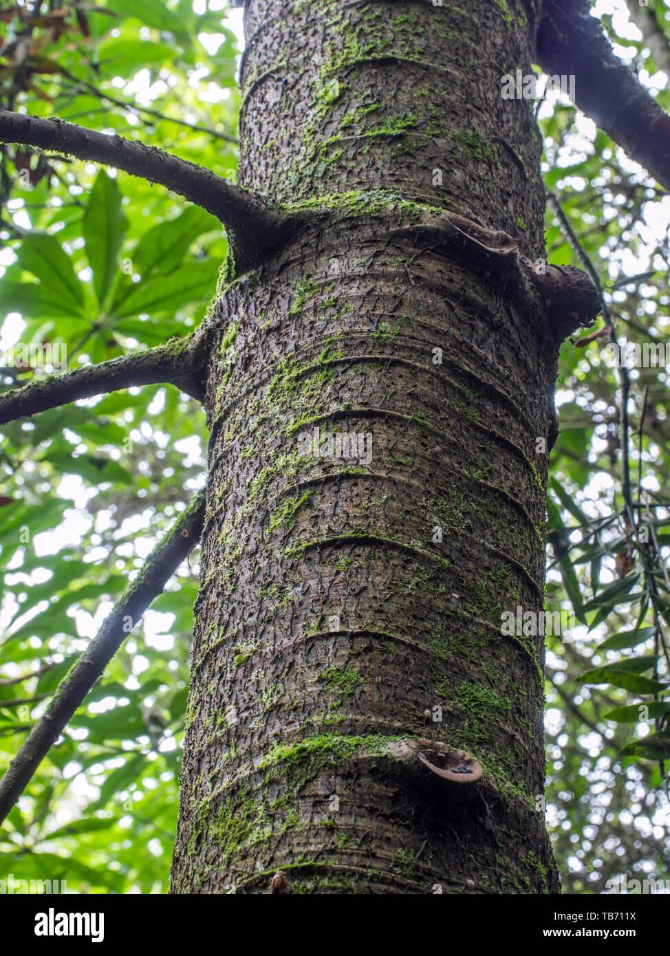 Tronc et branches de jeunes arbres kauri, Pohueroa, Brunswick, Gyeongju, Nouvelle-Zélande Banque D'Images