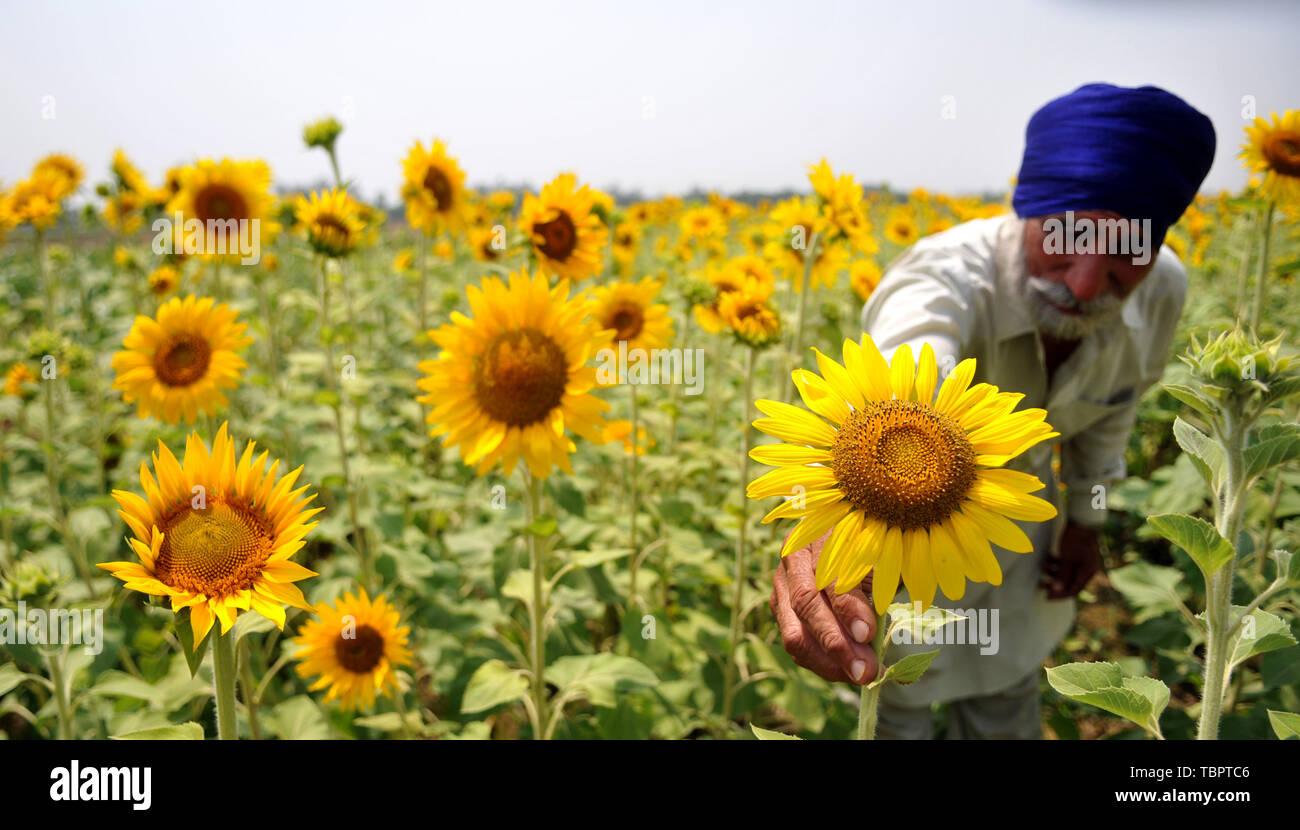 Jammu-et-Cachemire sous contrôle indien. 3 juin, 2019. Un agriculteur inspecte la floraison du tournesol à son domaine au Jammu, la capitale d'hiver du Cachemire sous contrôle indien, le 3 juin 2019. Credit: Stringer/Xinhua/Alamy Live News Photo Stock