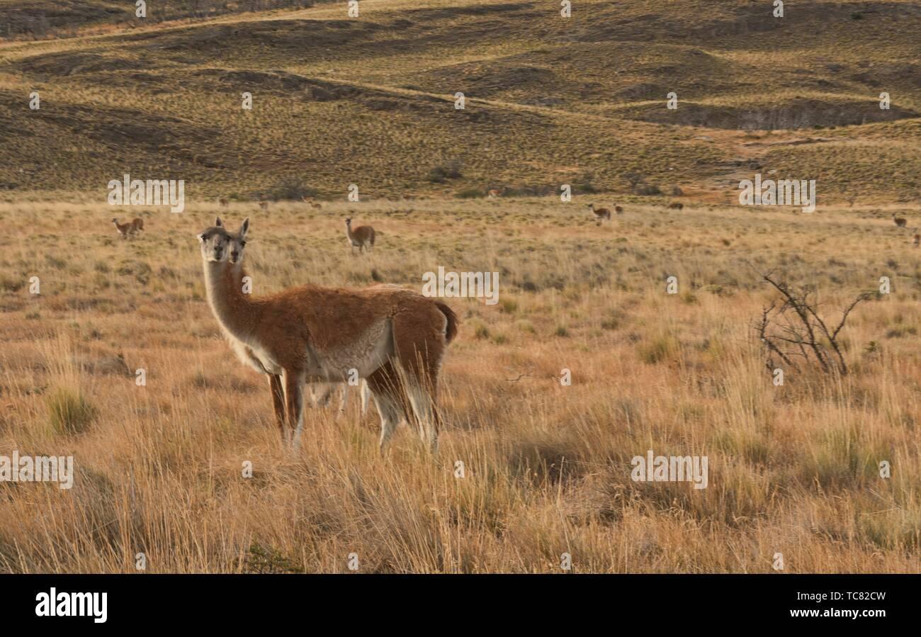 Guanacos sauvages de la Patagonie, le Parc National d'Aysen, en Patagonie, au Chili. Banque D'Images