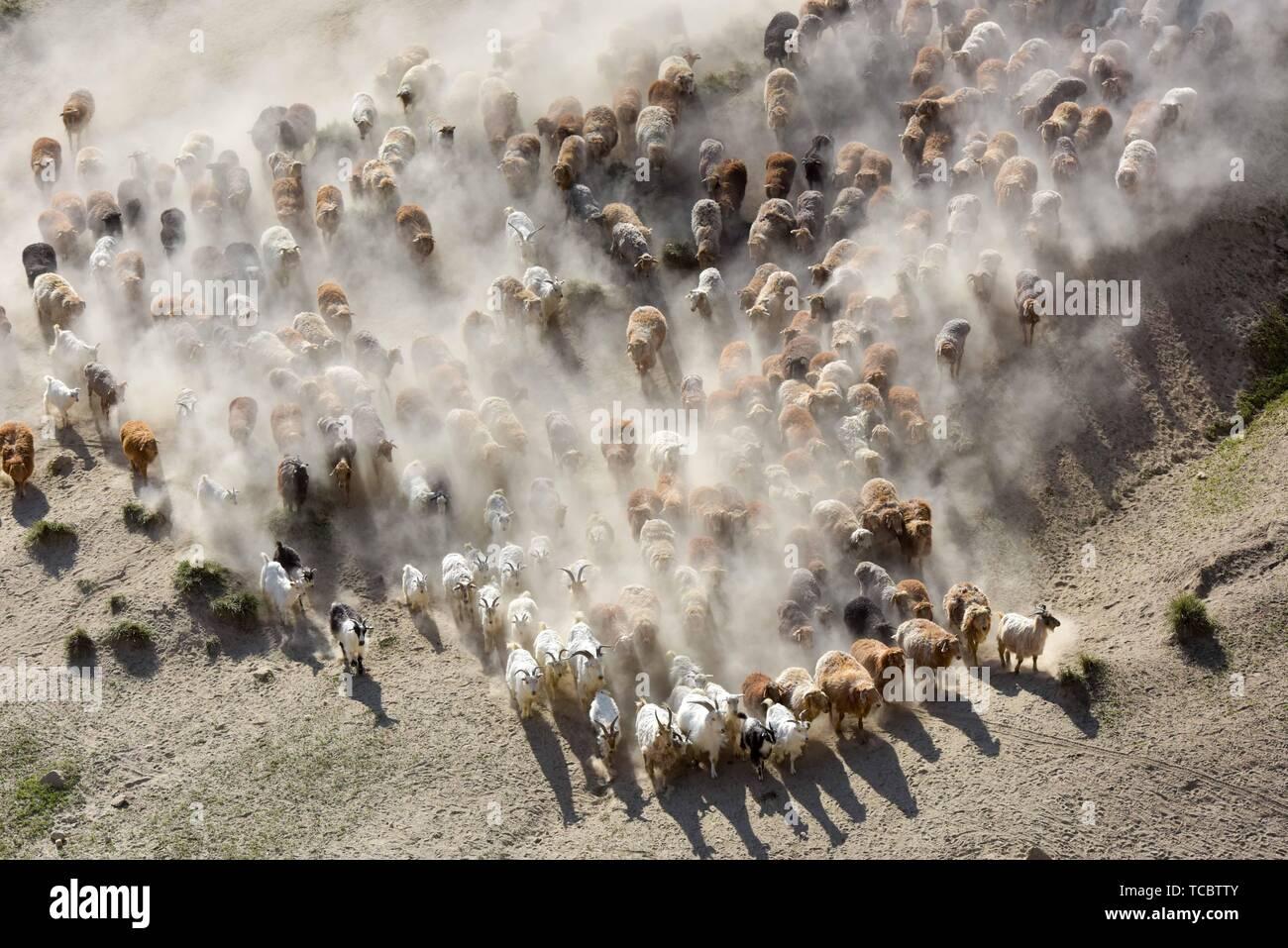 Fuhai. 6 juin, 2019. Dans cette photo aérienne prise le 6 juin 2019, un troupeau de bétail font leur chemin dans un voyage au pâturage d'été dans le comté d'Altay Fuhai, nord-ouest de la Chine, la Région autonome du Xinjiang Uygur. Au début du mois de juin chaque année, près de 1 000 familles nomades de l'ethnie kazakhe et leurs 400 000-strong bétail aller sur un voyage annuel d'alpage Fuhai Comté. Credit: Ding Lei/Xinhua/Alamy Live News Photo Stock