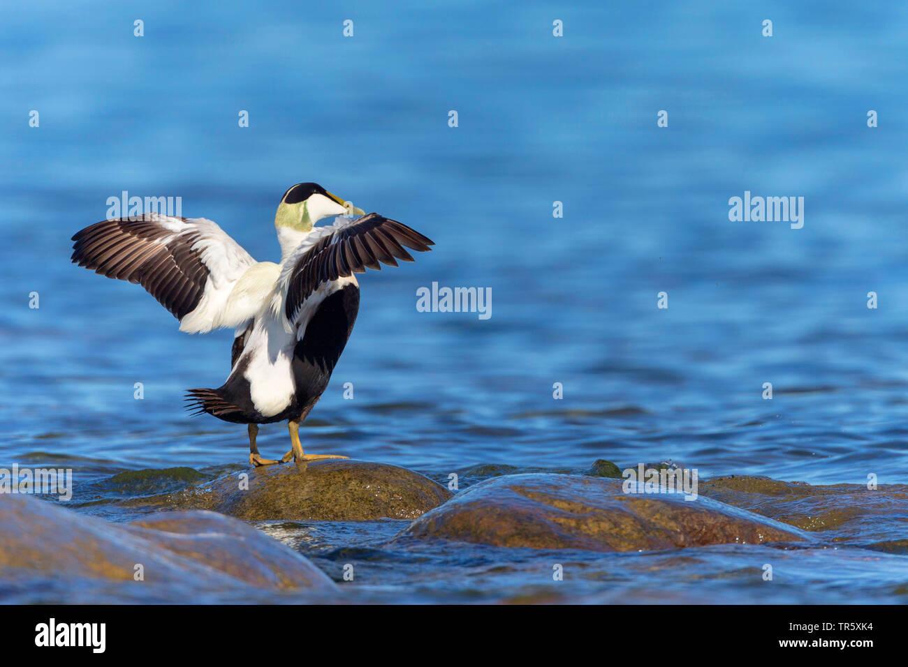 Eiderente, Eider-Ente (Somateria mollissima), Erpel steht nur auf einem Fluegeln ausgestreckten Stein im Wasser, Seitenansicht, Schweden | Général eide Photo Stock