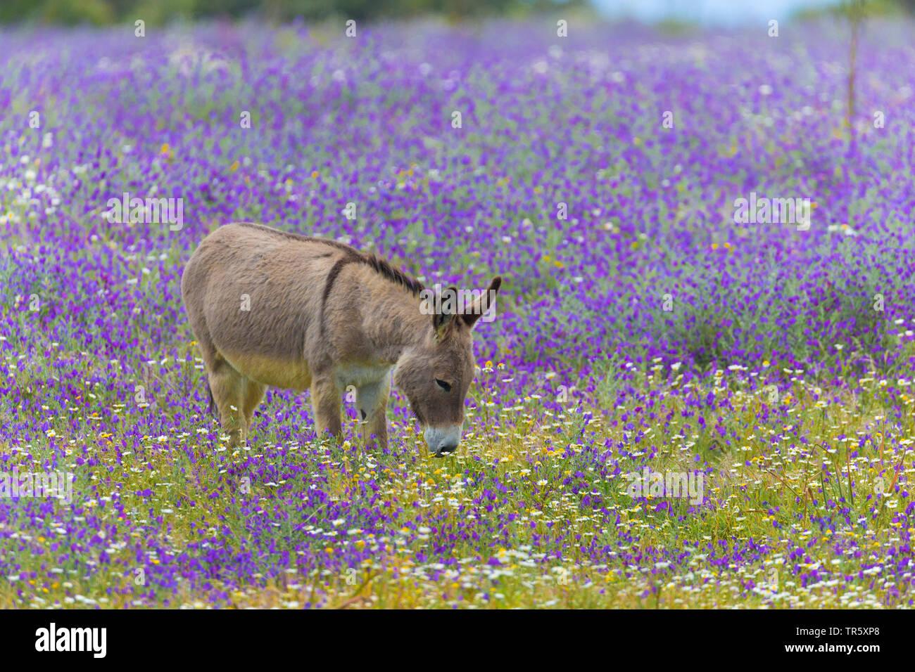 Hausesel Haus-Esel Esel,, (Equus asinus asinus), steht in einer bluehenden Blumenwiese und fais, Seitenansicht, Italie, Sardaigne, Alghero | Domesti Photo Stock