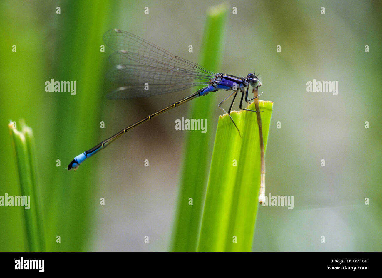grosse queue bleue