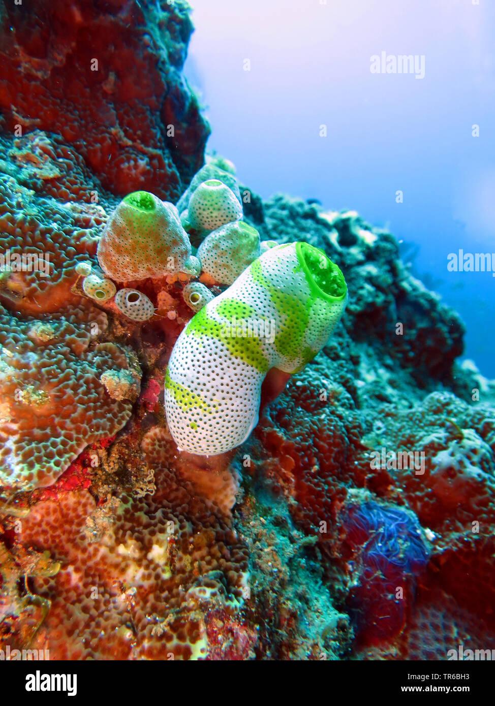 Sea Squirt robuste, petite forme d'ascidies (Atriolum robustum), sur le récif, philippines, sud de l'île de Leyte, Panaon, Pintuyan Photo Stock