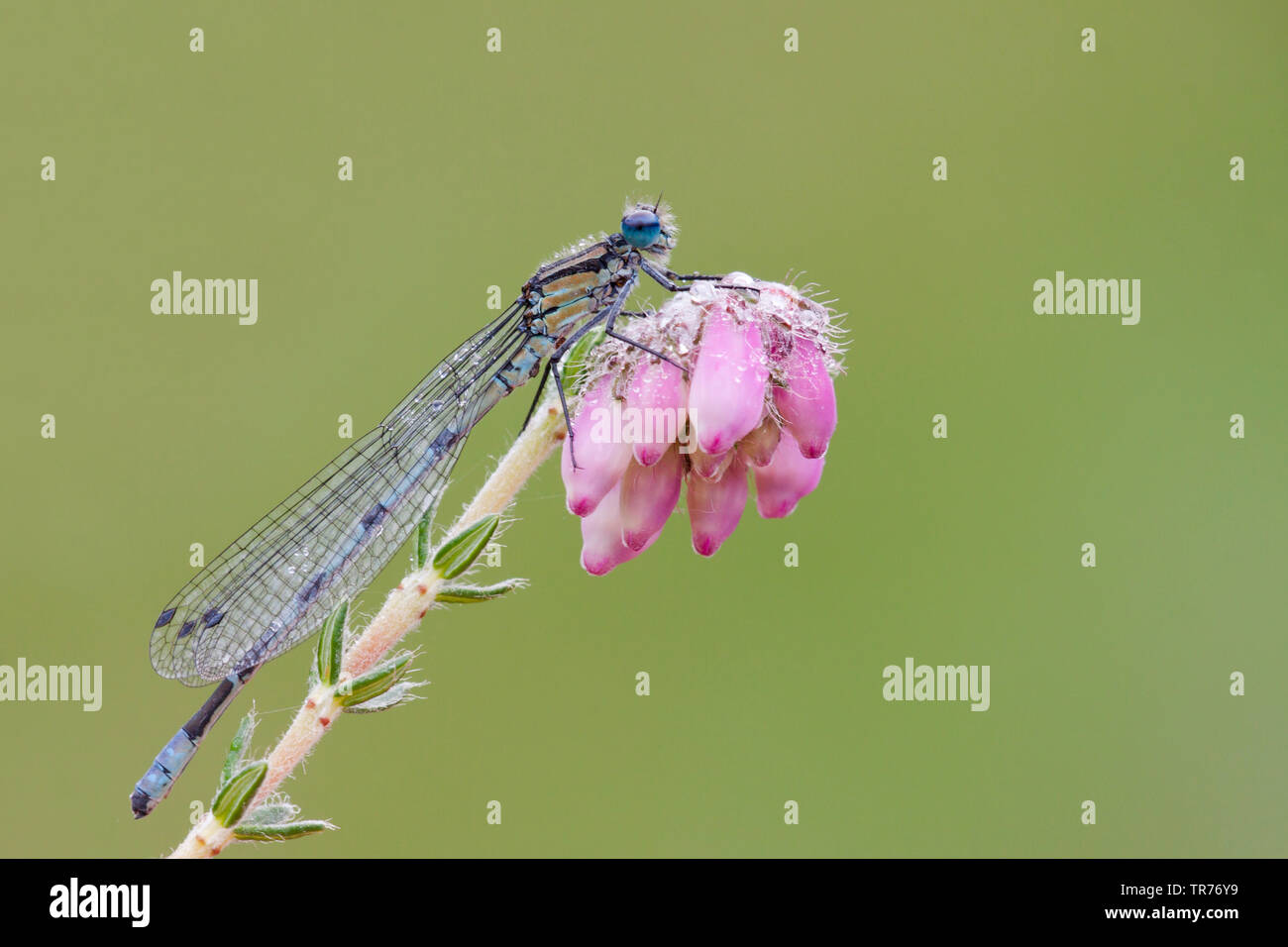 Coenagrion, commune de demoiselles Azure (Coenagrion puella), sur une fleur, Pays-Bas Banque D'Images