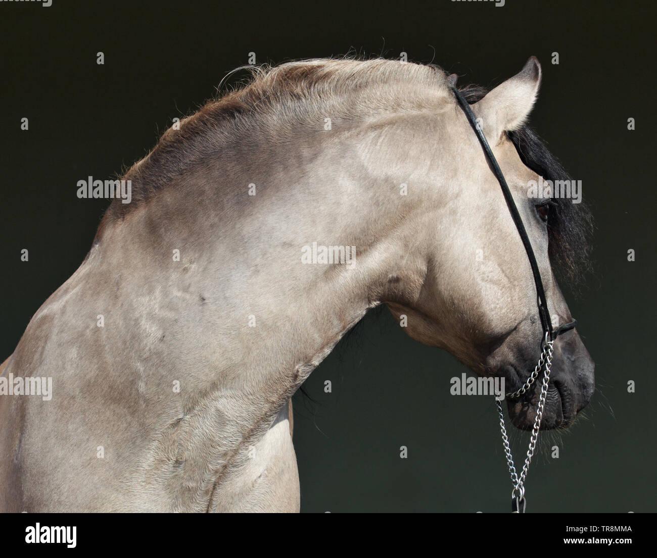 Rocky Mountain Horse Portrait dans la ferme, très portrain en porte sombre Banque D'Images