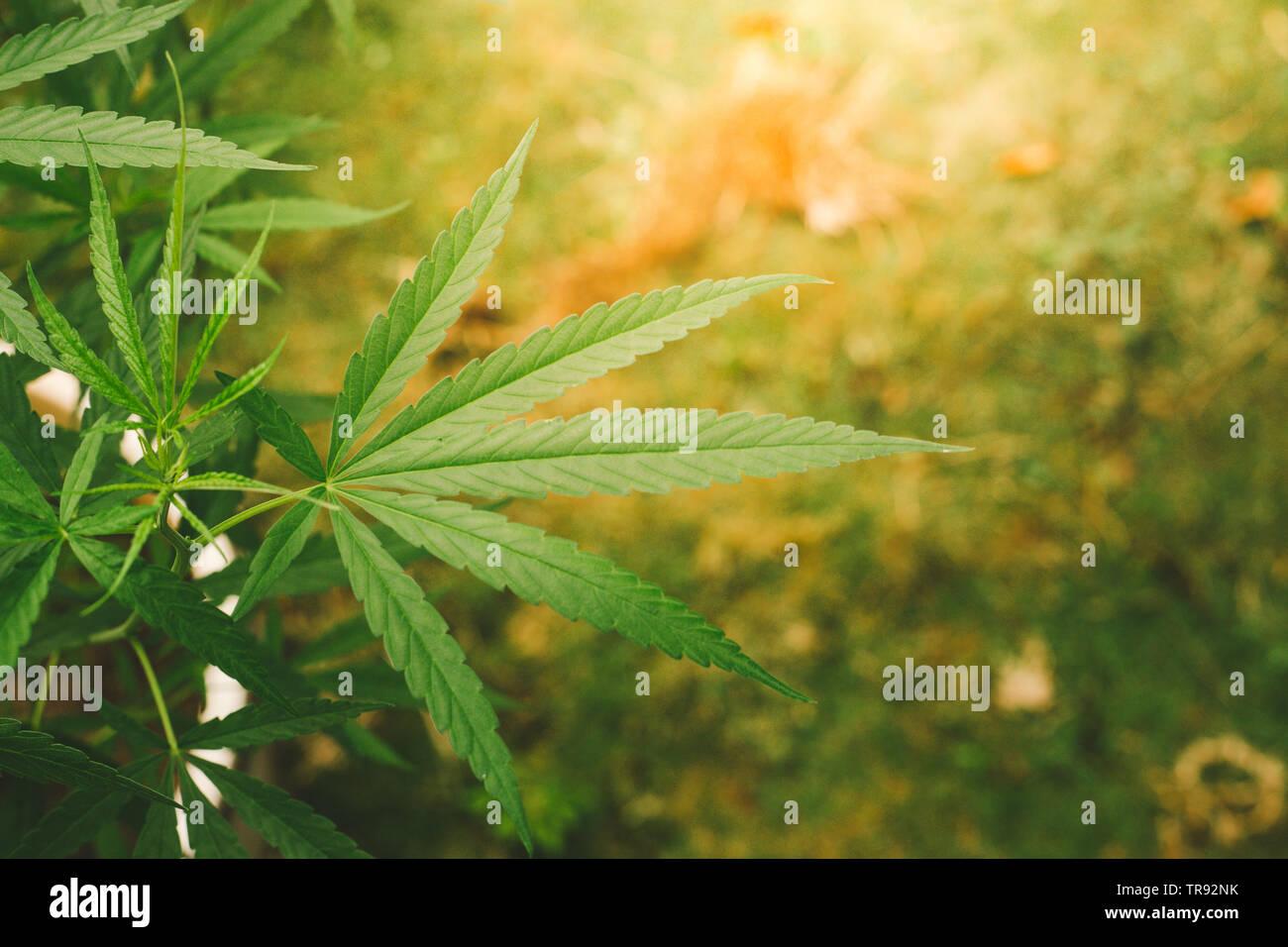 Feuilles de marijuana.Close up de feuilles de cannabis dans le jardin Banque D'Images