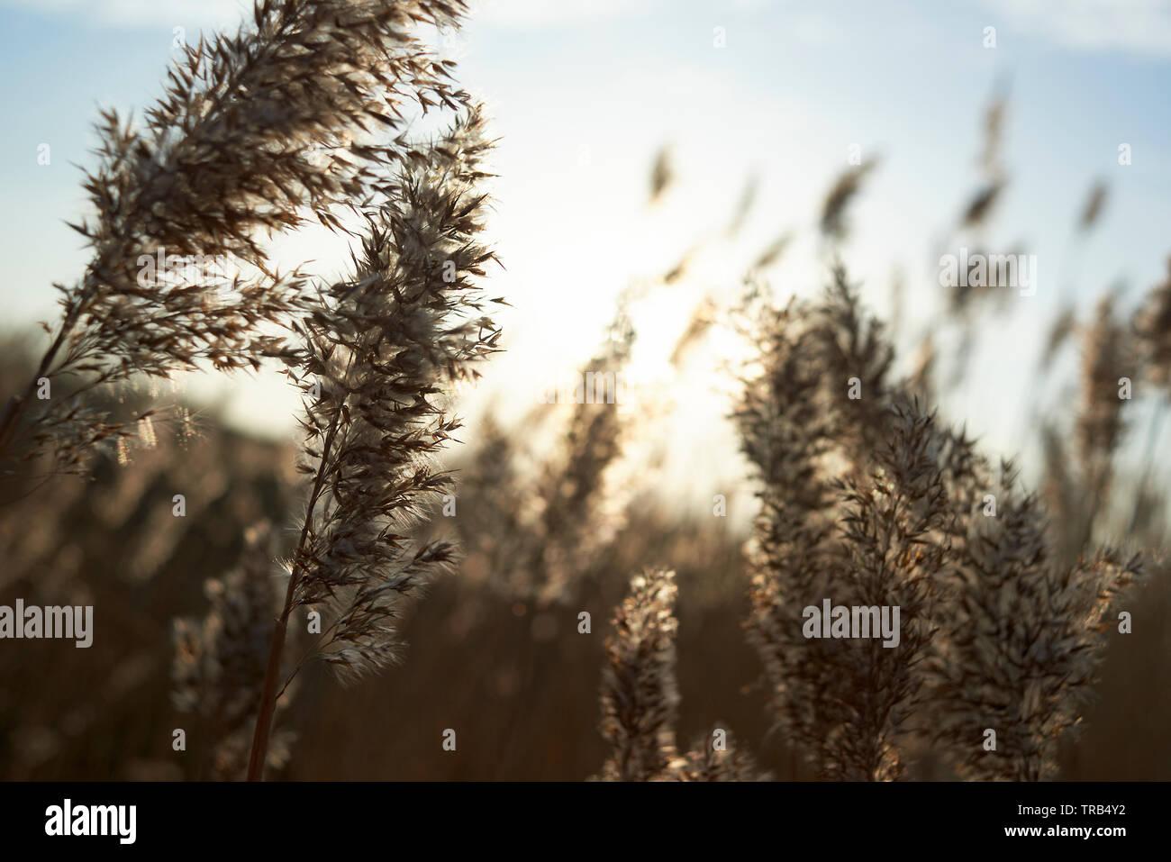 Amazing close up de roseaux dans le vent en plein soleil d'hiver Banque D'Images