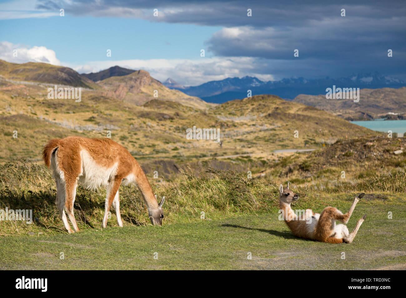 Cobourg sur l'herbe dans le parc national Torres del Paine, Patagonie, Chili Banque D'Images