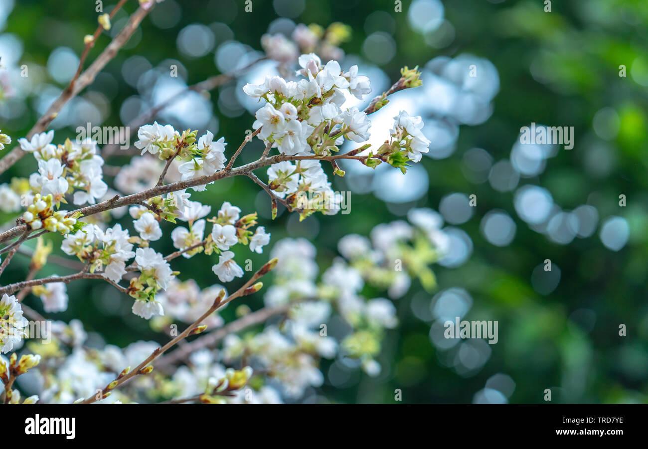 Rose en fleurs fleurs de cerisier fleur dans la saison du printemps Photo Stock