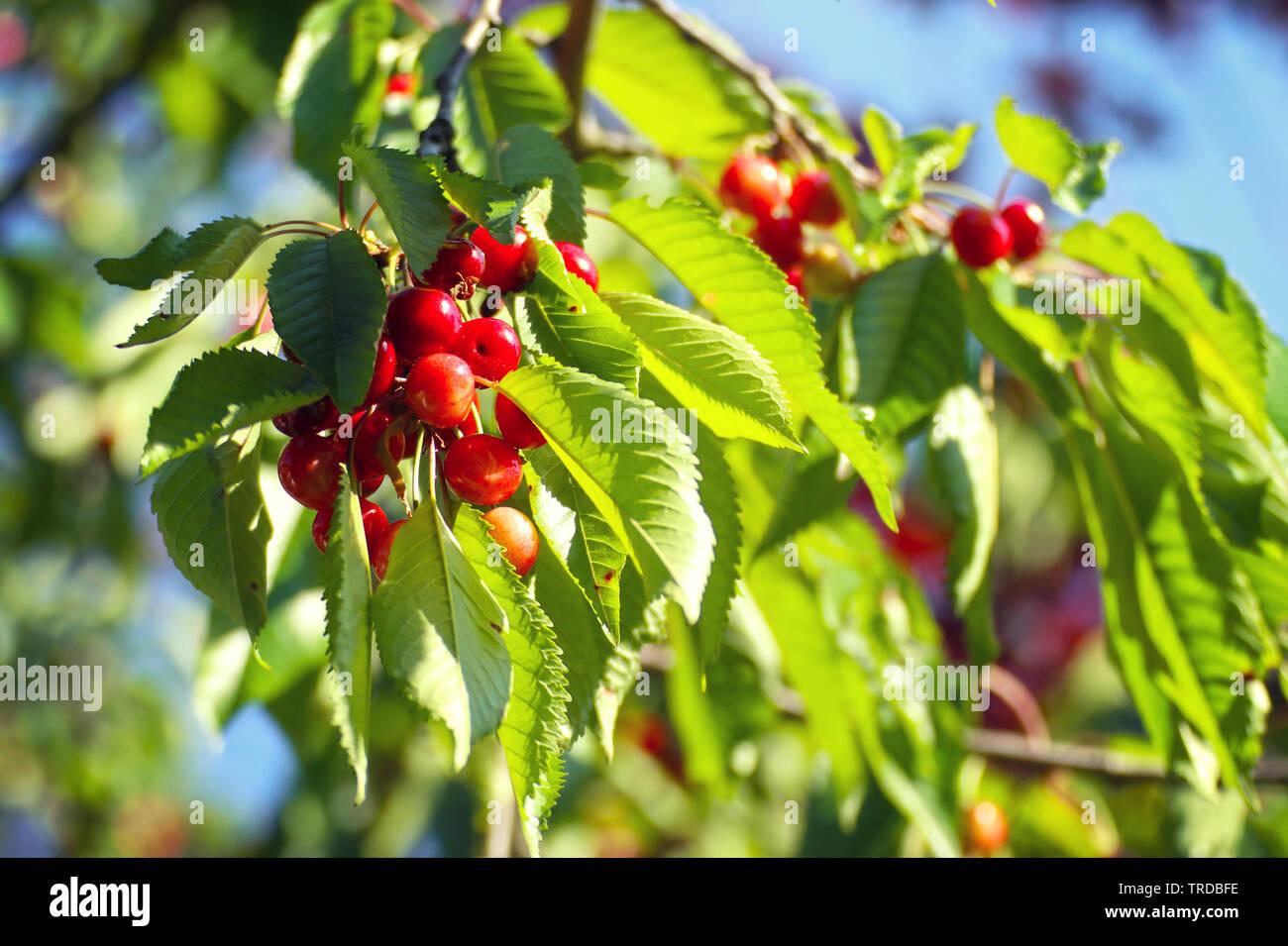 Les cerises mûres (Prunus cerasus) en attendant de les branches de l'arbre prêt pour la récolte Banque D'Images