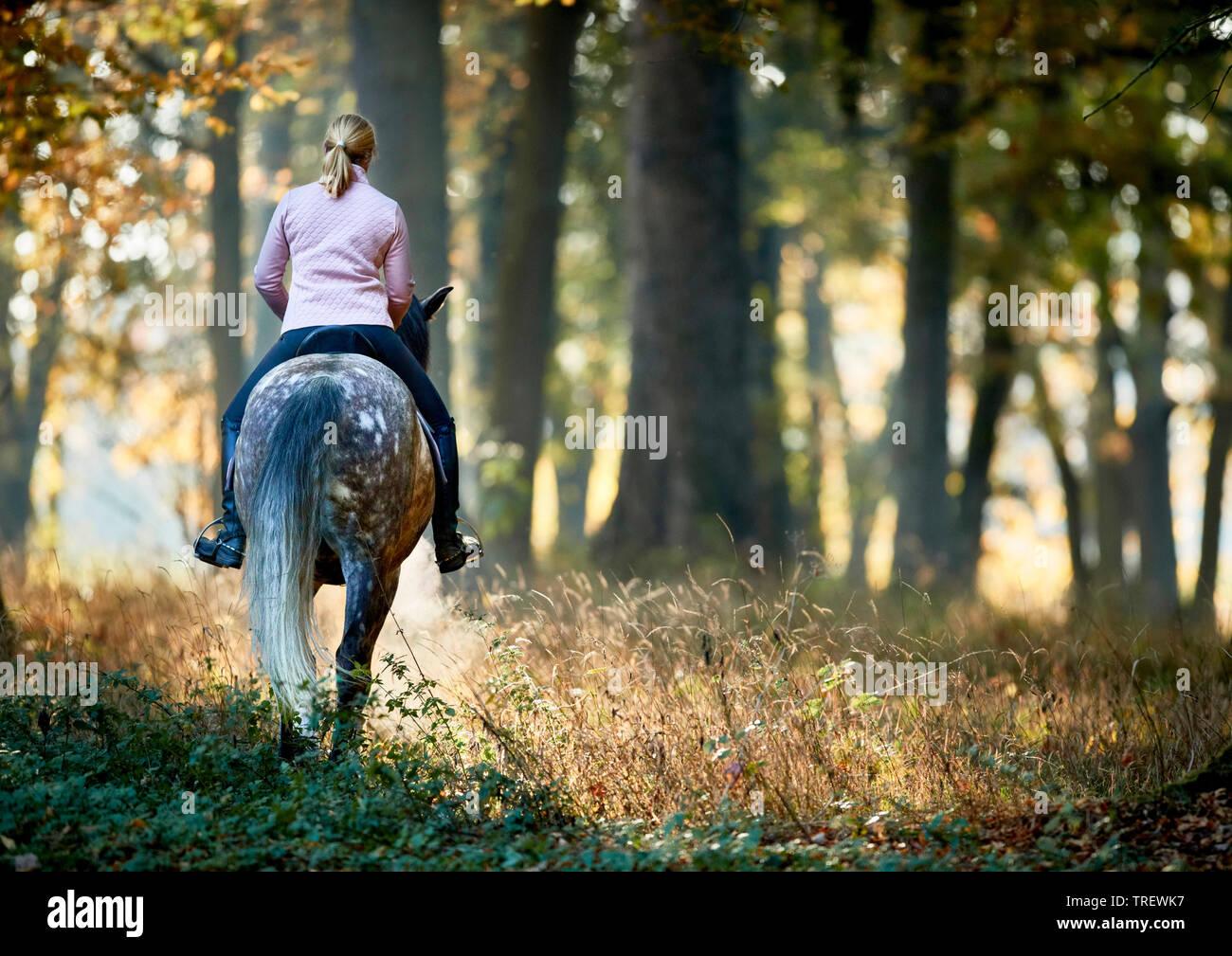 Cheval Espagnol pur, andalou. Rider sur gris pommelé des profils marcher dans une forêt en automne. Allemagne Banque D'Images