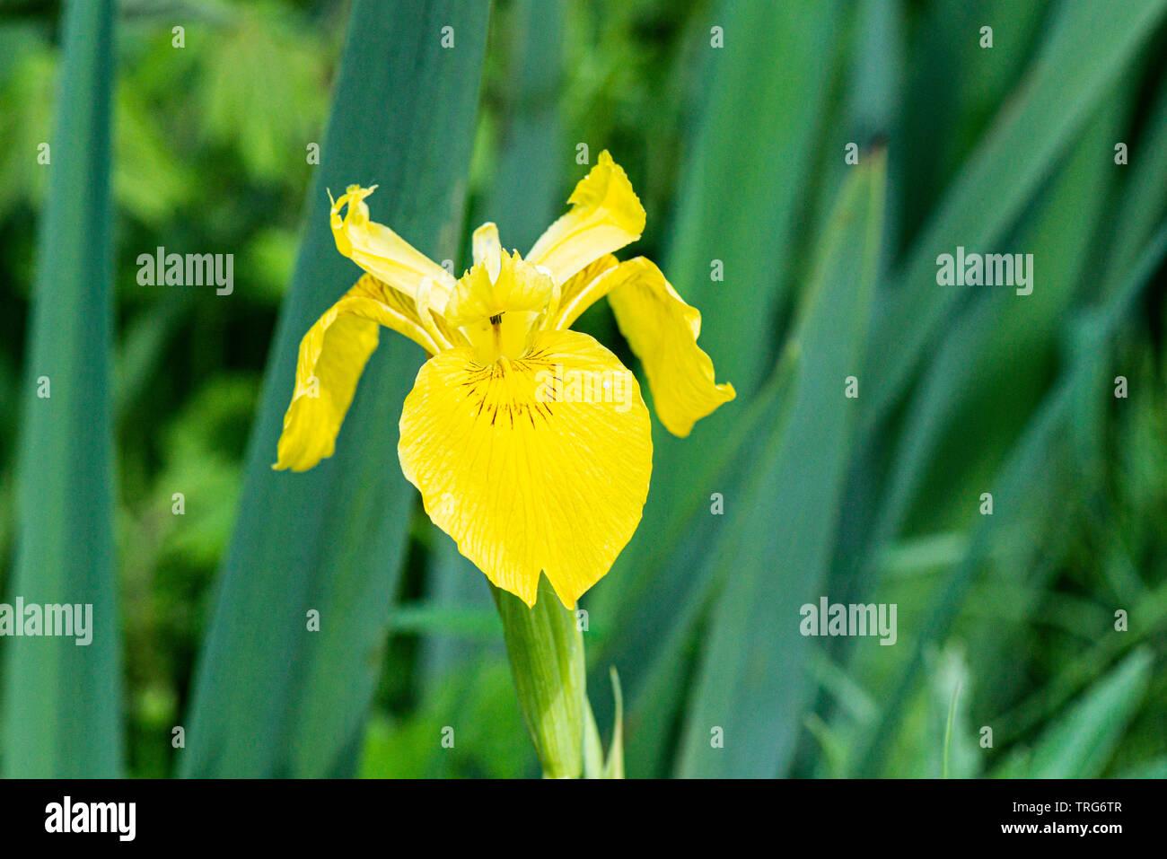 La fleur d'un iris jaune (Iris pseudacorus) Banque D'Images
