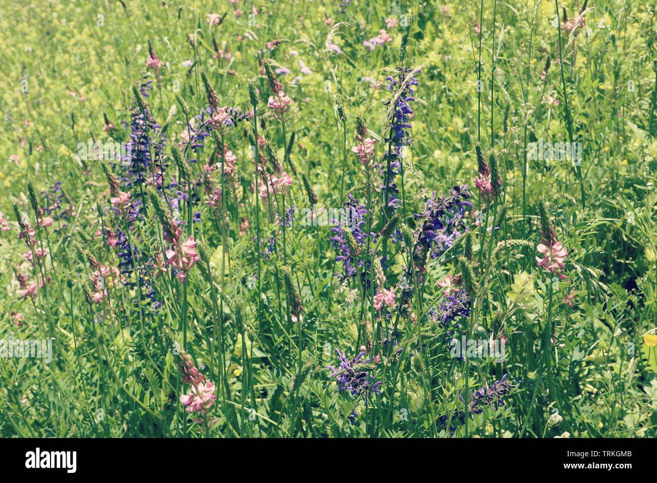 Meadow enchanteur plein de belle spontanéité violet, rose et violet fleurs lupin sauvage. Nature printemps antécédents, soft focus et blur Banque D'Images