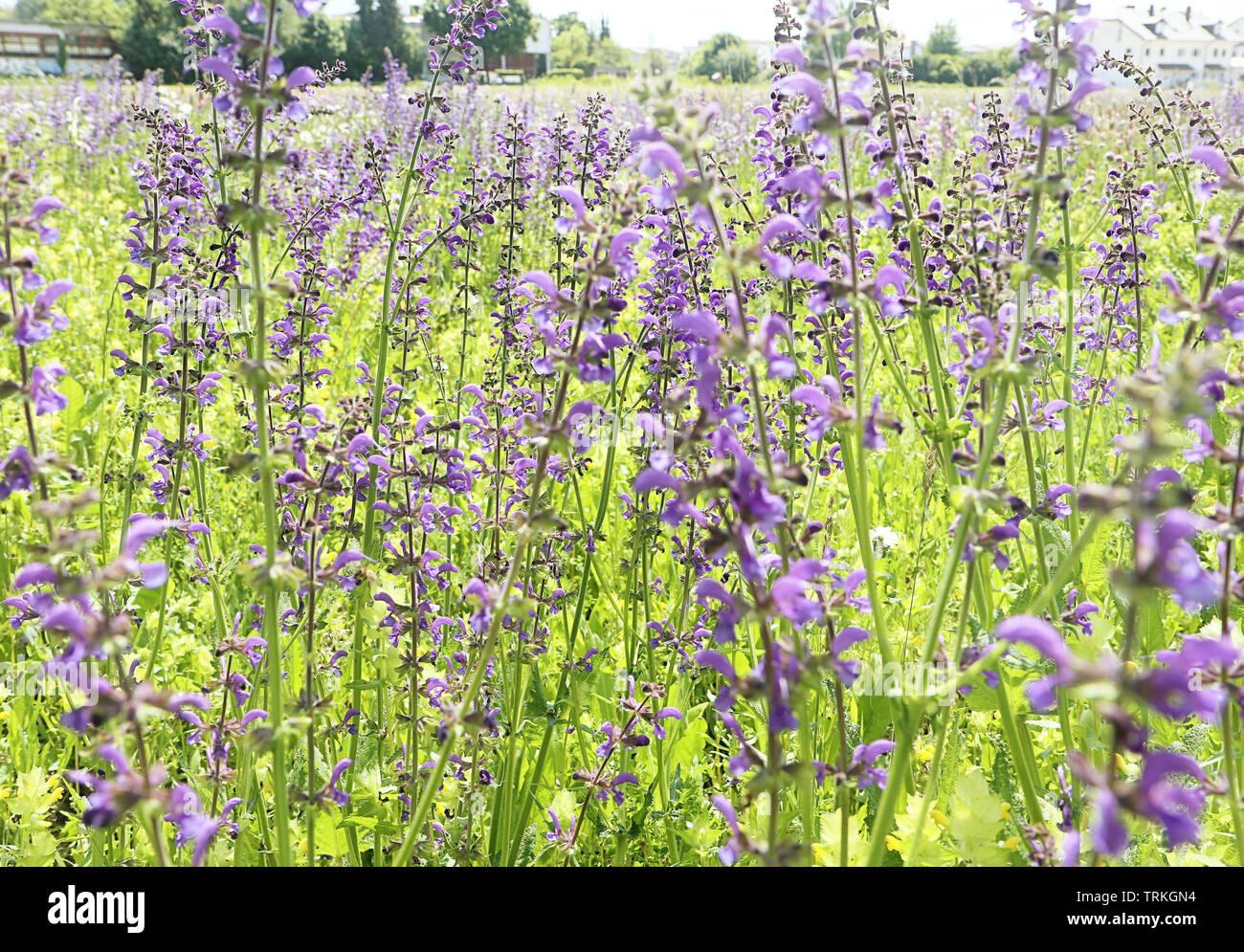 Près d'un champ de printemps plein de belles fleurs lupin sauvage mauve spontanée. Nature printemps antécédents, soft focus et blur Banque D'Images
