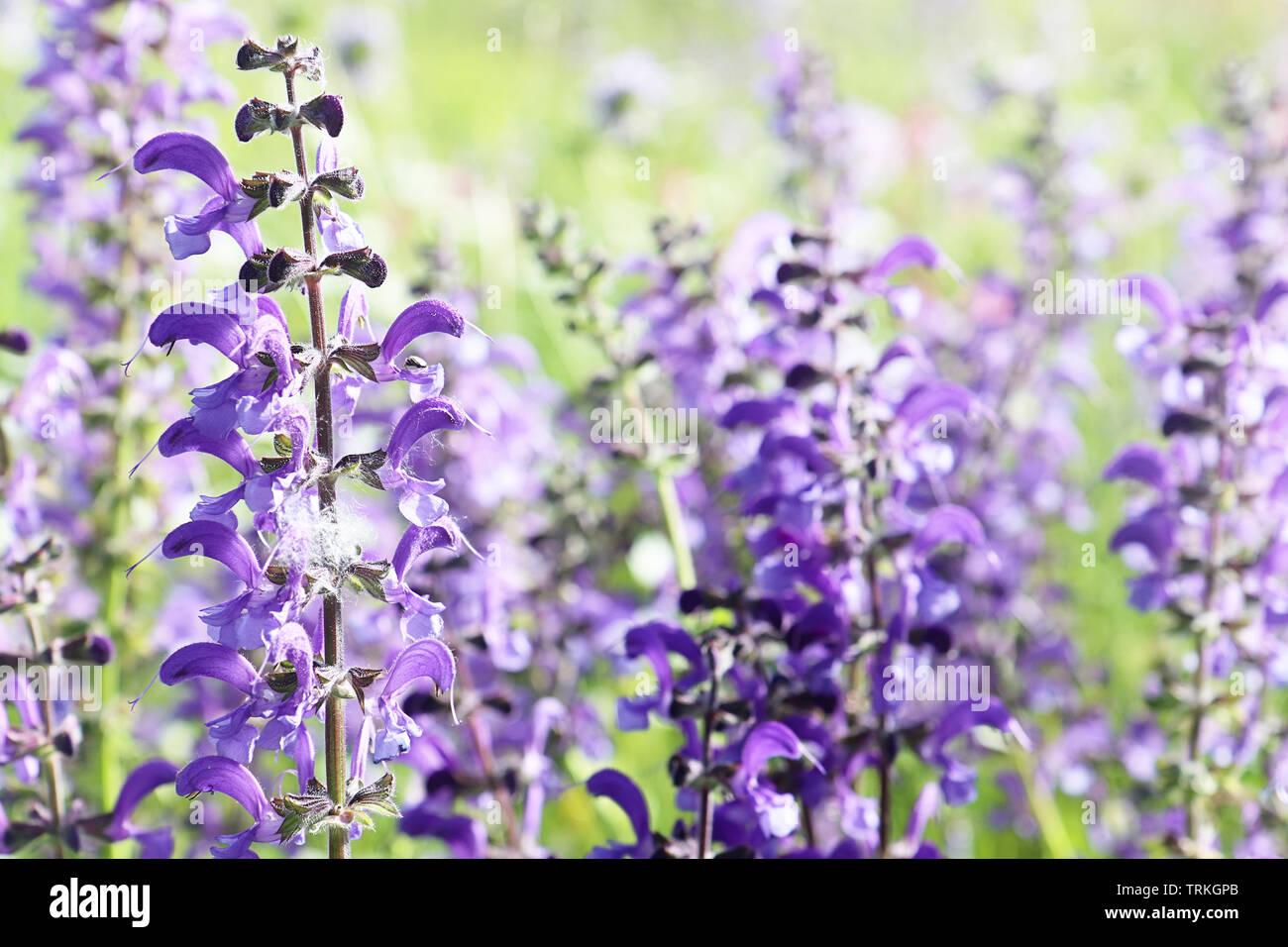 Close up de pourpre violette et spontanée printemps fleurs lupin sauvage dans un domaine rural colorés . Nature fond, soft focus et blur Banque D'Images