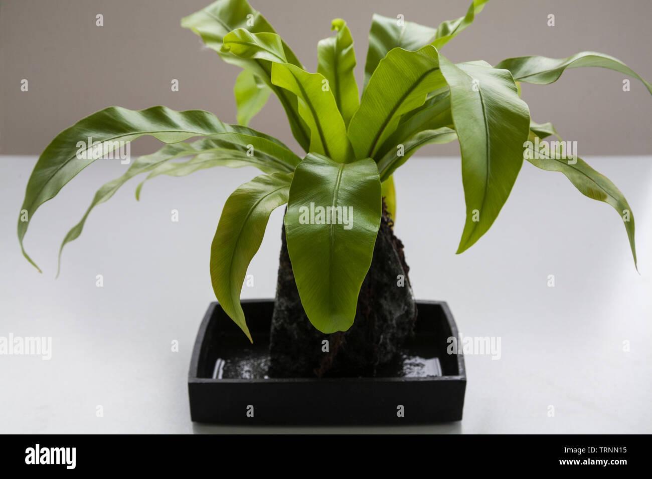 Asplenium lave avec ses racines un morceau de pierre de lave qui fournit du soutien, de l'humidité et des éléments nutritifs Photo Stock