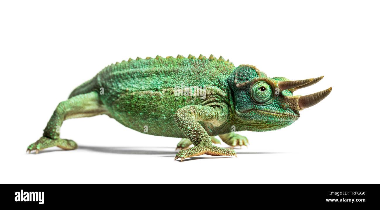 Vue latérale d'un Jackson's horned chameleon Trioceros jacksonii, marche,, isolé sur blanc sur fond blanc Photo Stock