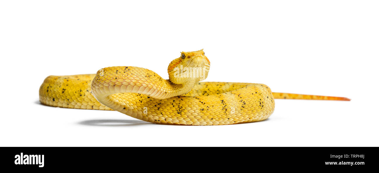 Bothriechis schlegelii, Bothriechis schlegelii, le Cil, Viper est un pit viper against white background Photo Stock