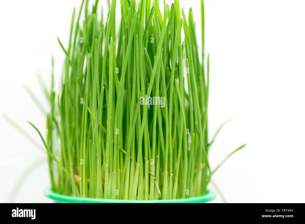 L'avoine germée herbe sur fond blanc. Photo Stock