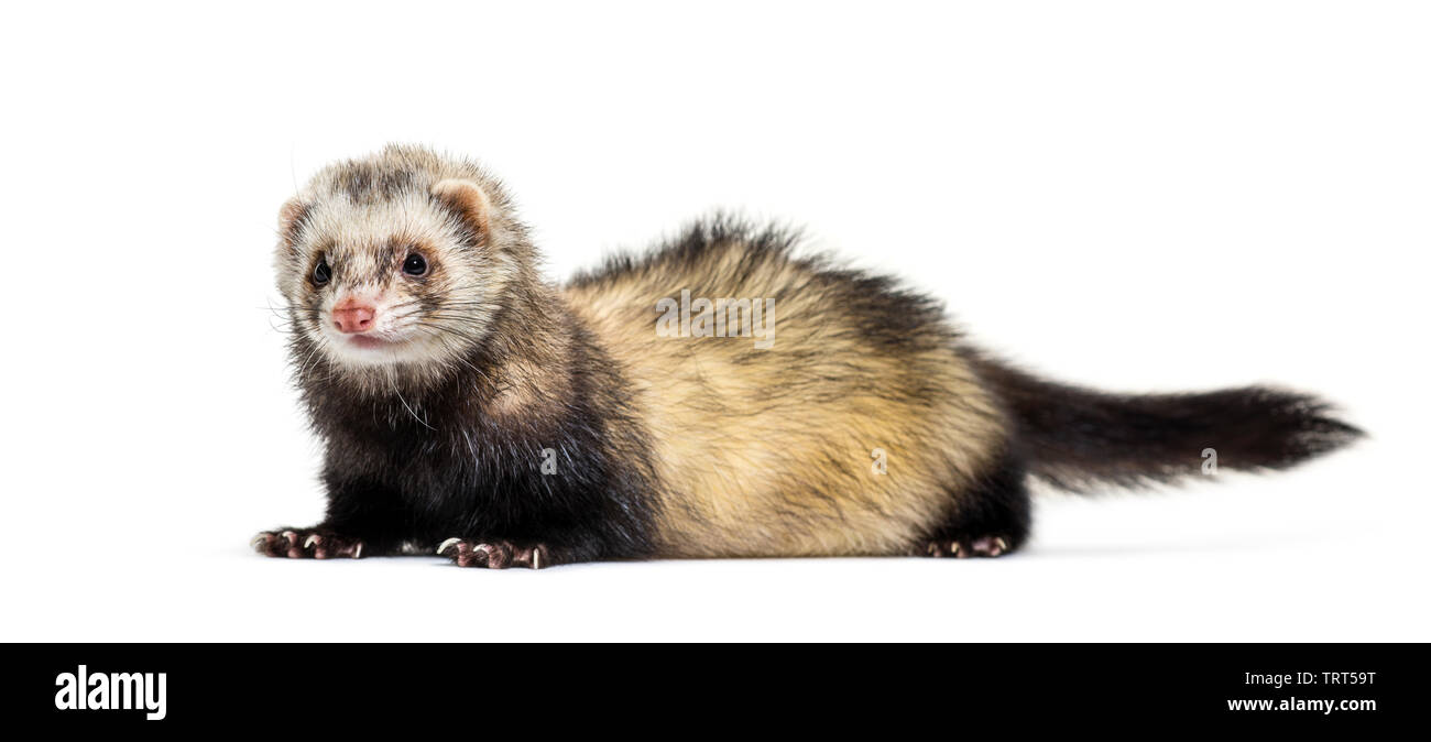 Ferret lying in front of white background Photo Stock