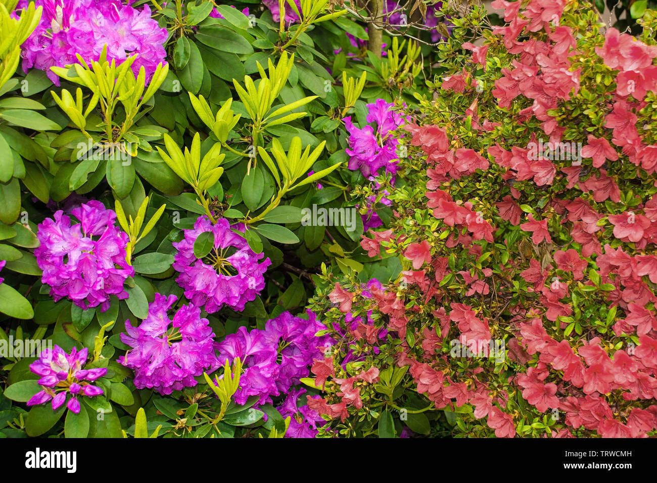 Rhododendron Mauve Et Rose Rouge Azalea Fleurs En Croissance