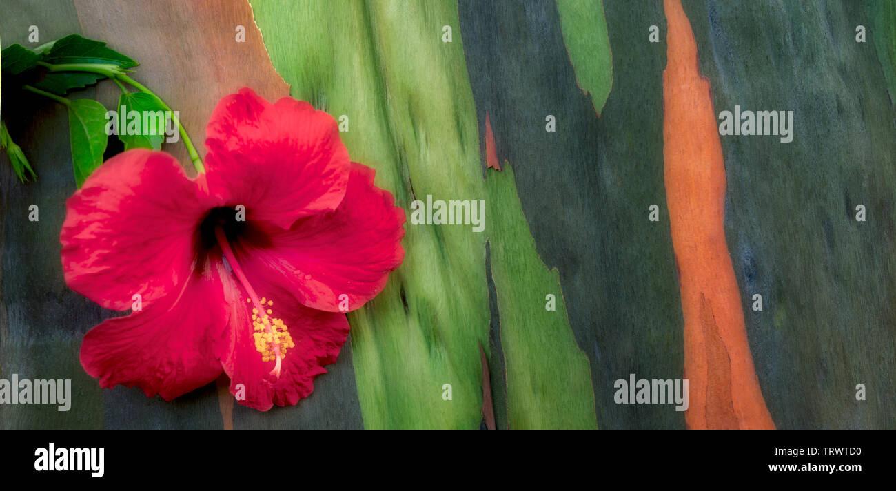 Hybiscus et de fleurs d'eucalyptus peint l'écorce des arbres. Kauai, Hawaii Photo Stock