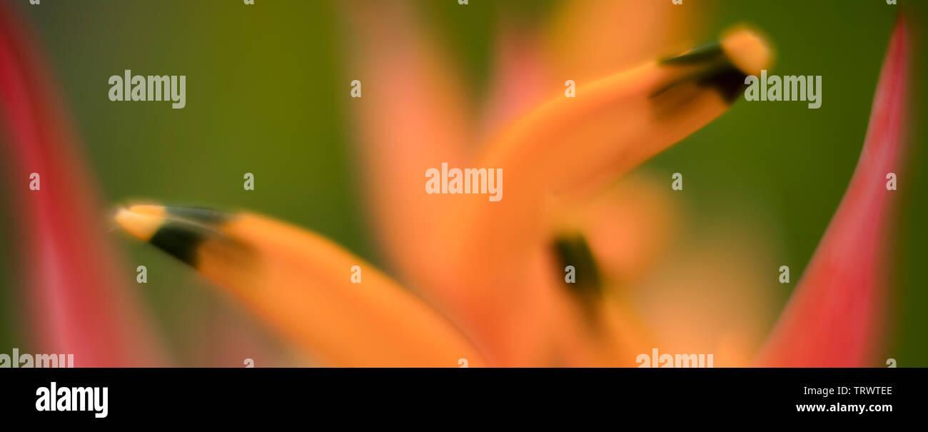 Close up de Heliconia flower. Kauai, Hawaii Photo Stock