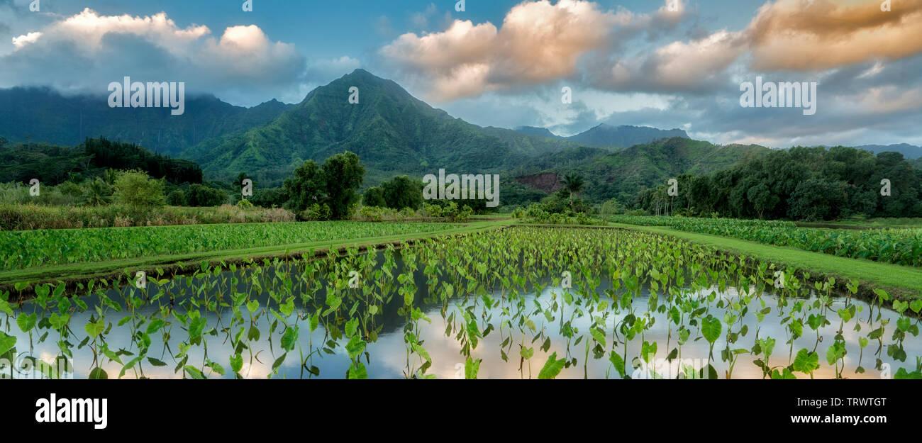 Champ de Taro. et les montagnes autour de Hanalei National Wildlife Refuge. Hanalei, Kauai, Hawaii Photo Stock