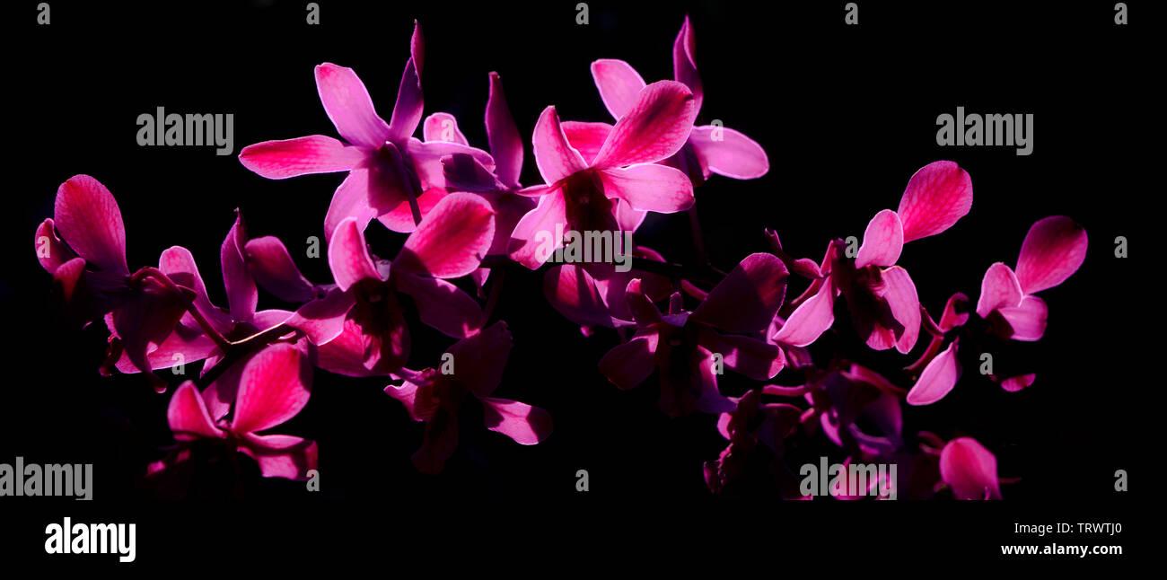 Orhids rétroéclairé. Kauai, Hawaii. Photo Stock