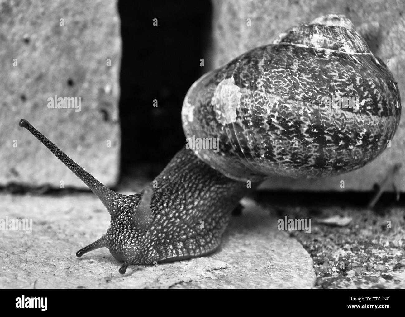 La photo en gros plan d'une politique commune de l'escargot rampant sur une brique en pierre Banque D'Images