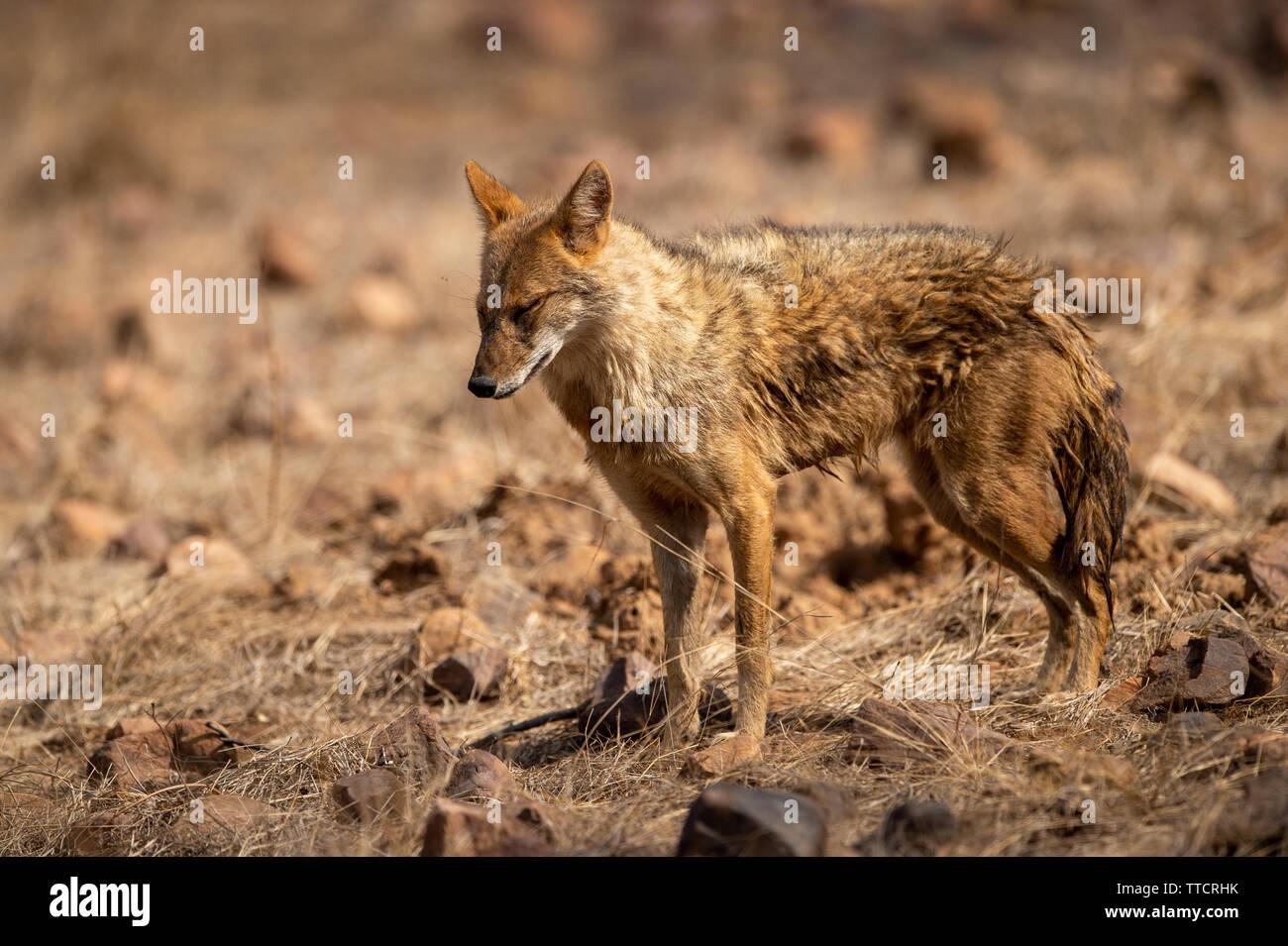 Indian Jackal ou Canis aureus indicus agressivement la marche et l'observation du comportement des proies possibles à la réserve de tigres de Ranthambore, Rajasthan, Inde Banque D'Images