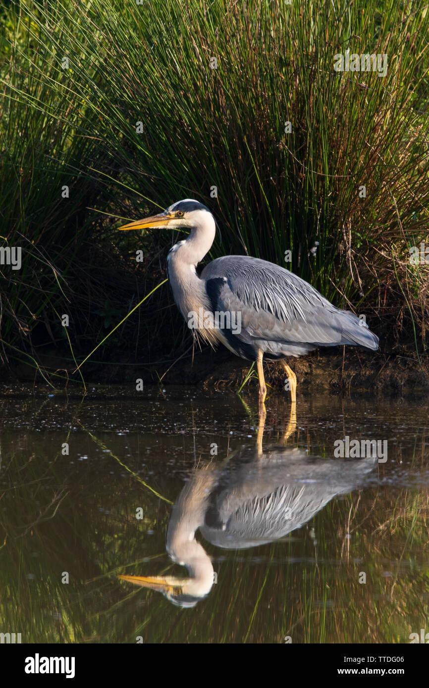 Héron cendré (Ardea cinerea) avec une réflexion parfaite au bord d'un lac encore avec forte (Juncus acutus) buttes dans un ventilateur derrière elle Photo Stock