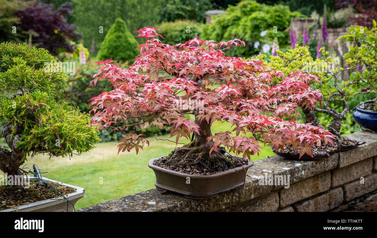Acer Bonsai Photos Acer Bonsai Images Alamy