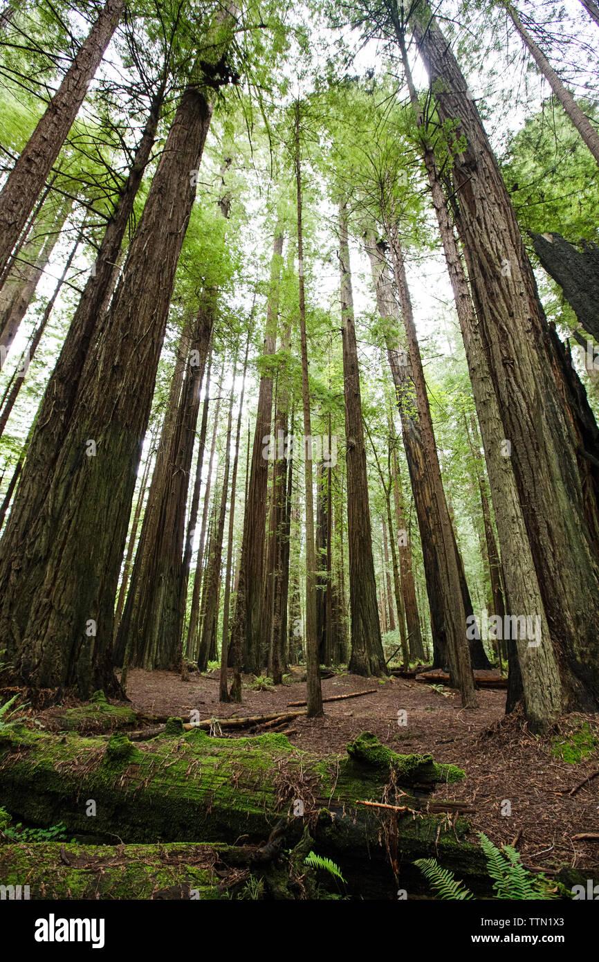 Les arbres croissant sur terrain du Redwood National and State Parks Banque D'Images